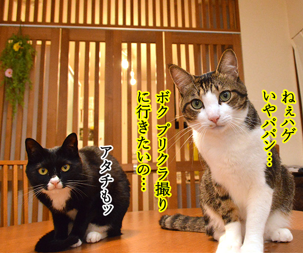 プリクラ撮りに行きたいのッ 猫の写真で4コマ漫画 1コマ目ッ