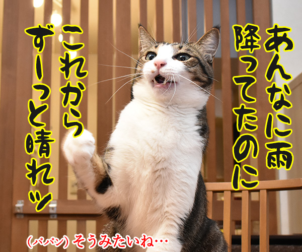 あんなに雨降ってたのに今日も明日も晴れなのよッ 猫の写真で4コマ漫画 2コマ目ッ